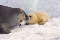 Le massacre des BB phoques