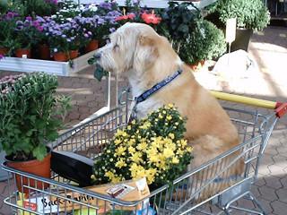 Unser Bobby, jetzt im 16. Hundelebensjahr. Im Einkaufswagen im Gartenmarkt,weil er nicht mehr immer so gut zu Fuss ist. Und wenn er mal gut zu Fuss ist, markiert er an jeder Blume und Pflanze. In Ehren und Unehren ist er zum alten Hundemann geworden!