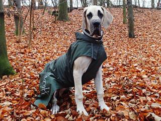 Prinzessin Ira vom Doggensprung beim herbstlichen Waldspaziergang.