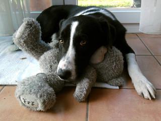 Auch große Rabauken wie unser Teddy schmusen gern.  Danke und schöne Grüße  Regine Henke