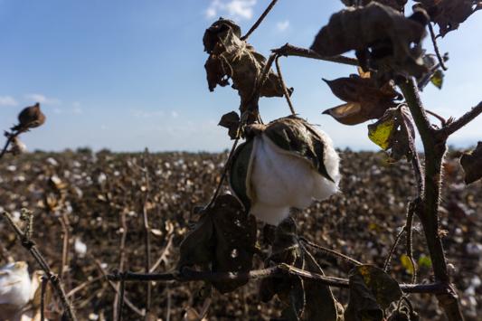 Südlich von Meteora beginnt das Baumwollanbaugebiet. Tagelang sehen wir nur Baumwolle.