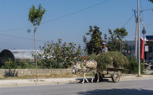 Esel ersetzen in Albanien den Traktor. Es gibt quasi nur Esel, kaum Traktoren.