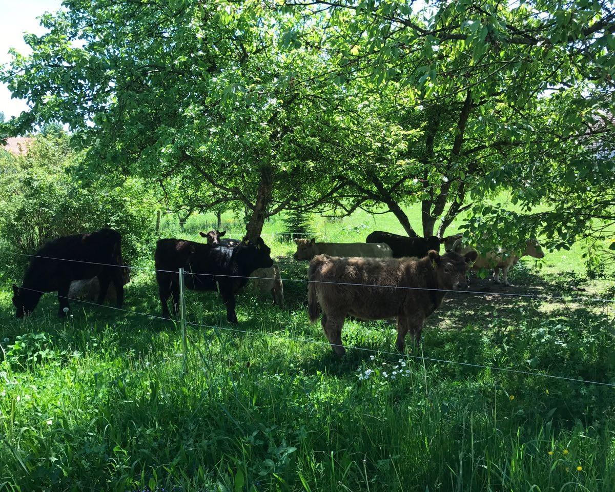 Weiderinder unter Obstbäumen
