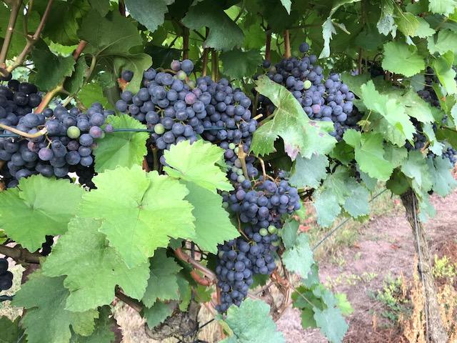 Weinbau im Hügelland