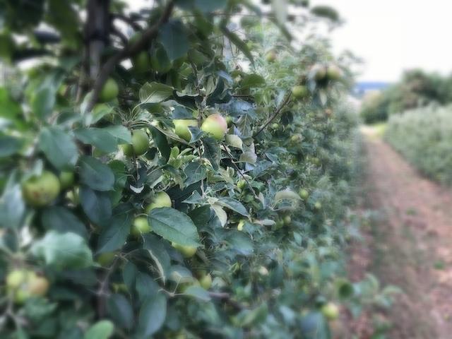 Apfelplantage in Tiefenbach