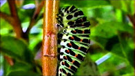 Превращение в бабочку