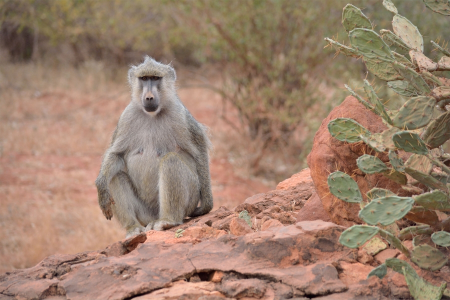 Kenia monkey