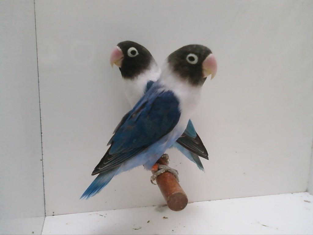 M- Azul cobalto x H- Azul