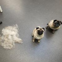 Luna und Dolly, auch für einen Mops lohnt sich der Gang in den Hundesalon