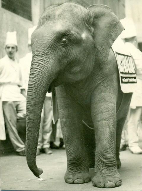 Elefant Lustralan, der Hauptgewinn bei einem Preisausschreiben eines Teppichherstellers, den Hermann Welte in den 60 er Jahren gewinnt.  Preis war natürlich nur symbolisch. Lustralan kam leider nie nach Überlingen.