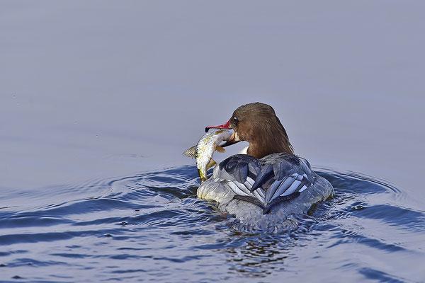 Gänsesäger Weibchen mit Fisch (Foto: Achim Schumacher)