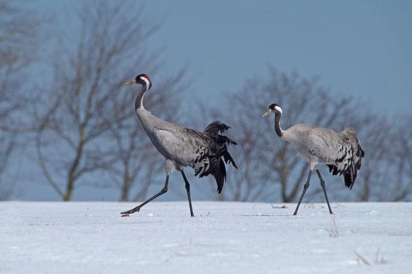 Kraniche im Schnee (Foto: Achim Schumacher)