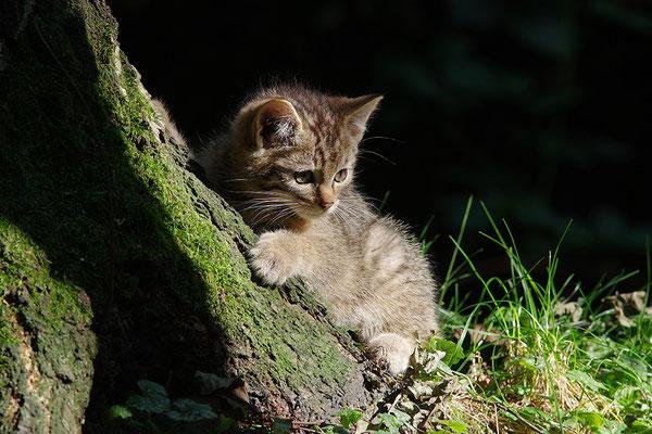 Wildkatze Jungtier (Foto: Achim Schumacher)