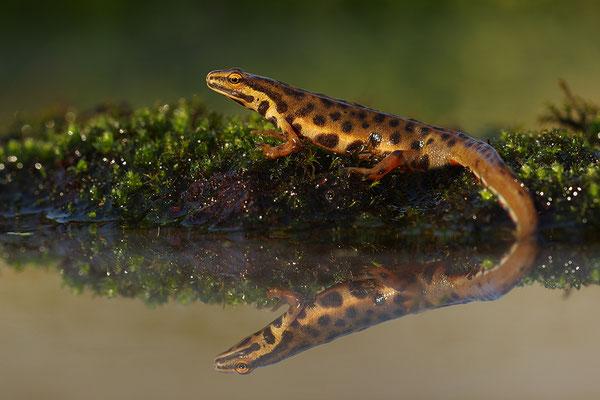 Teichmolch Männchen (Foto: Achim Schumacher)