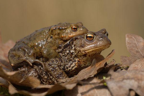 Erdkrötenpaar (Foto: Achim Schumacher)