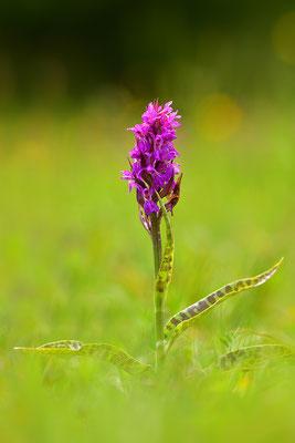 Breitblättriges Knabenkraut Natur des Jahres 2020 Orchidee des Jahres 2020 NABU Düren
