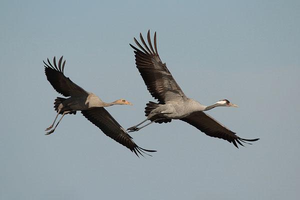 Jungvogel mit Altvogel (Foto: Achim Schumacher)