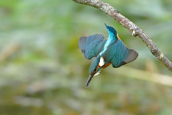 Eisvogel Weibchen beim Beutefang (Foto: Achim Schumacher)