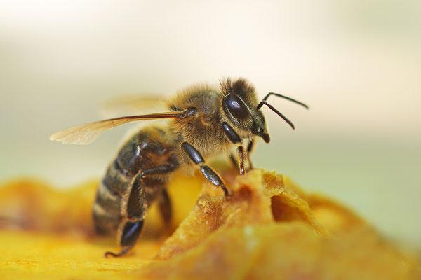 Honigbiene (Foto: Achim Schumacher)