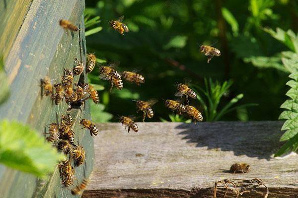 Honigbienen im Anflug auf den Bienenstock (Foto: Achim Schumacher)