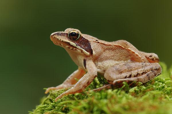 Springfrosch (Foto: Achim Schumacher)