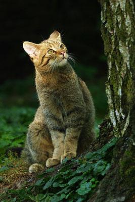 Wildkatze (Foto: Achim Schumacher)