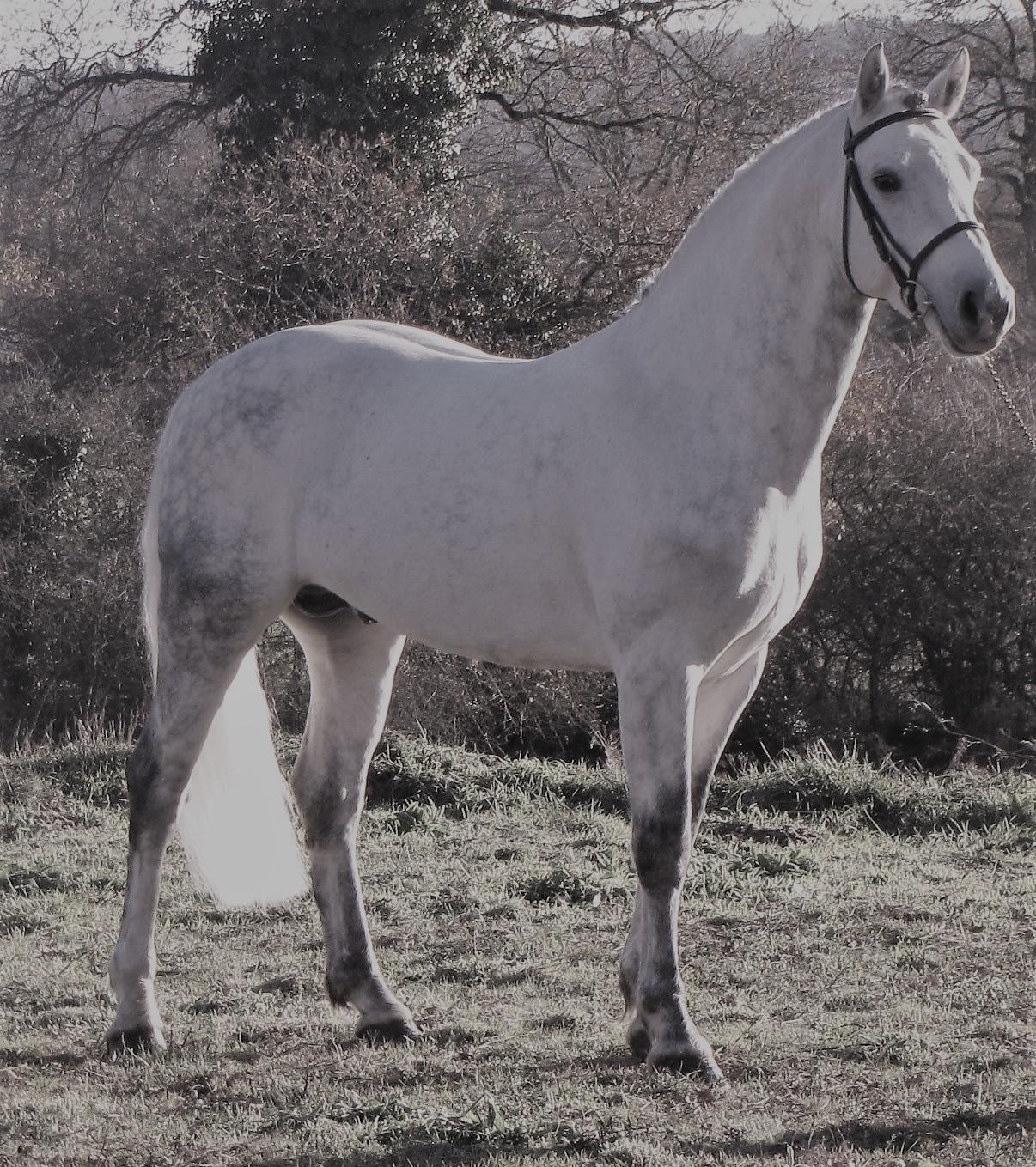 Paps Late - Connemara Stallion -
