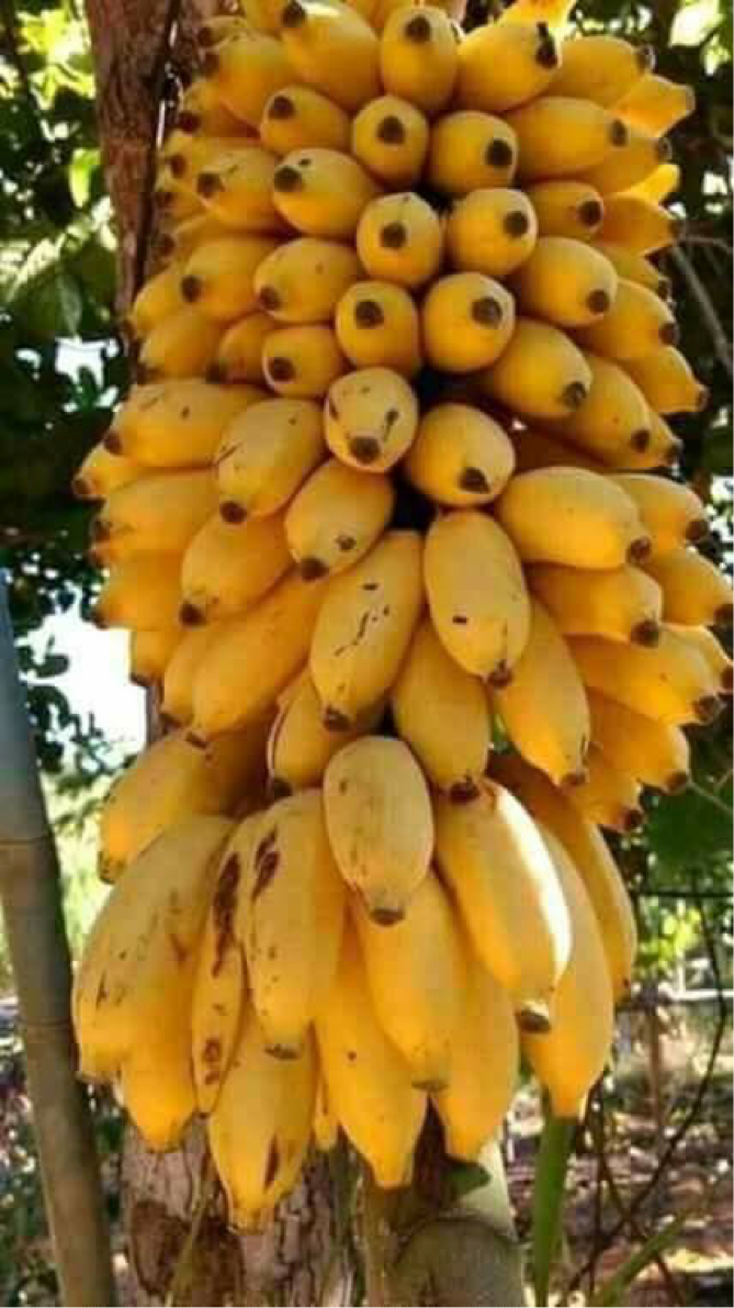 Bananes en grappe