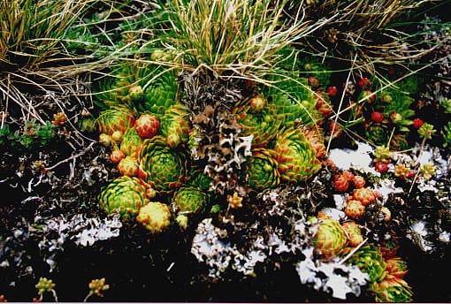 S. globiferum subsp. globiferum (Synonym: Jovibarba globifera subsp. globifera), Lochen, ca. 940 m NN, Exposition: Süd