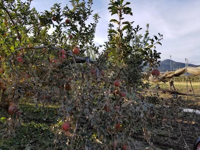 台風被害のりんご