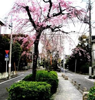 呑川柿の木坂支流緑道(しだれ桜)
