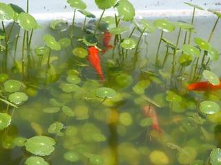 水槽 金魚