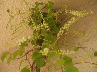 「オカワカメ」の花