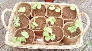 コットンの苗や種もイベント等で配布しています