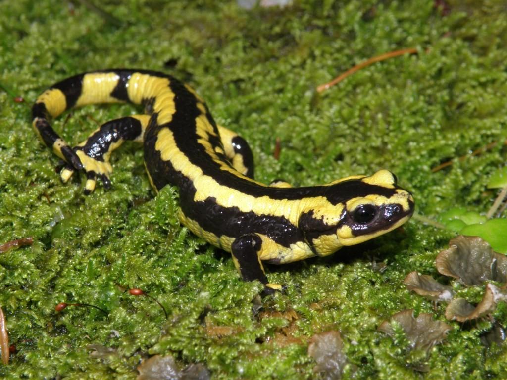 Salamandre tachetée © F. Doré