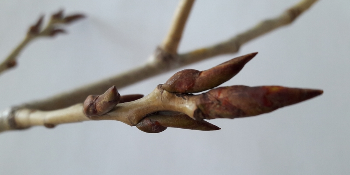 Balsampappel