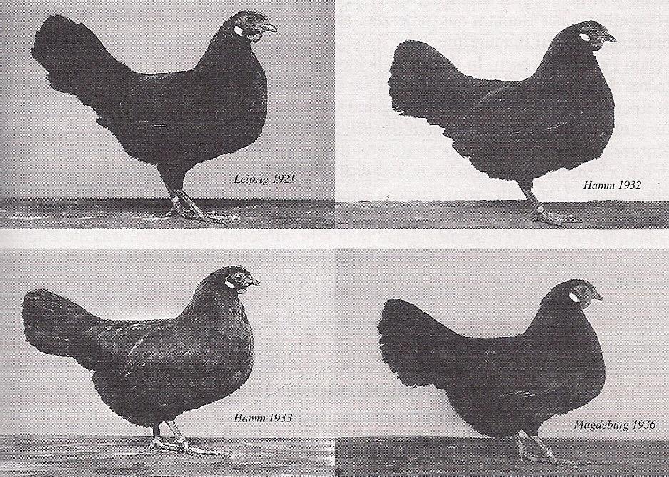 Erste Zwerg-Rheinländer-Hennen aus der Zucht von Ewald Camphausen
