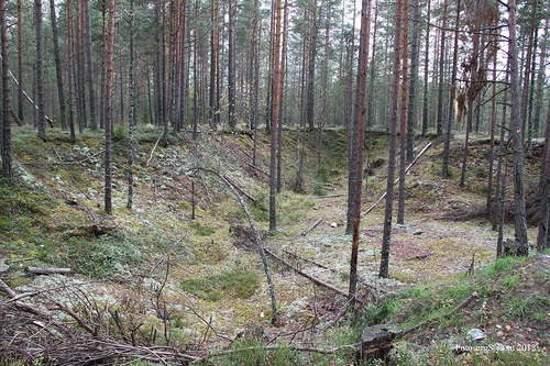 Сохранившиеся траншеи линии обороны одного из финских опорных пунктов