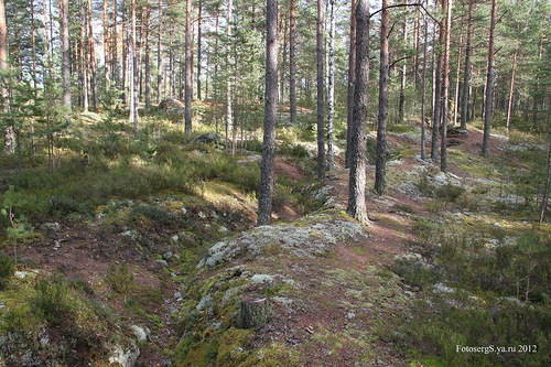 Линия траншей и заградительных сооружений опорных пунктов УРа Лейпясуо /Leipäsuo/