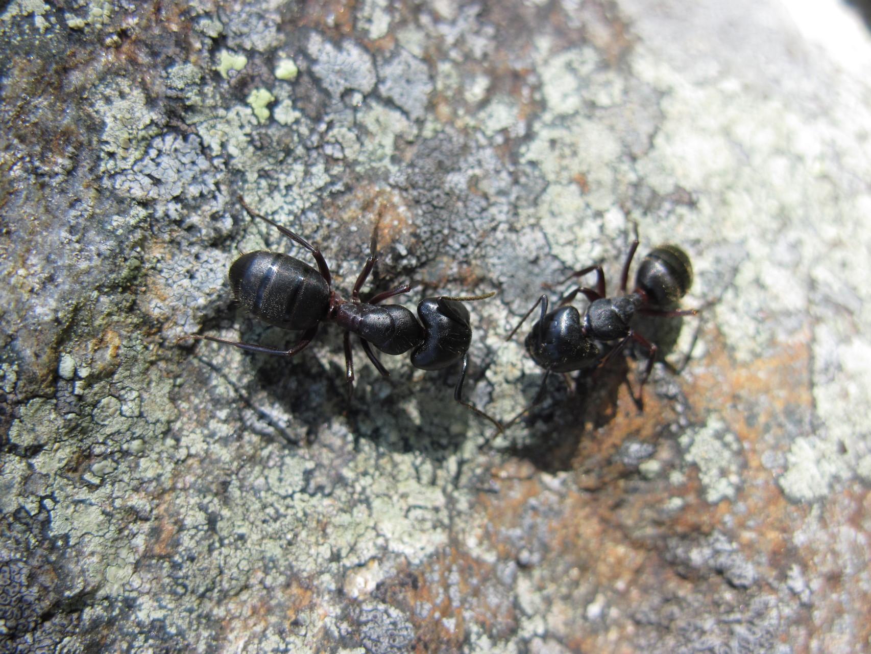 grosse Ameisen