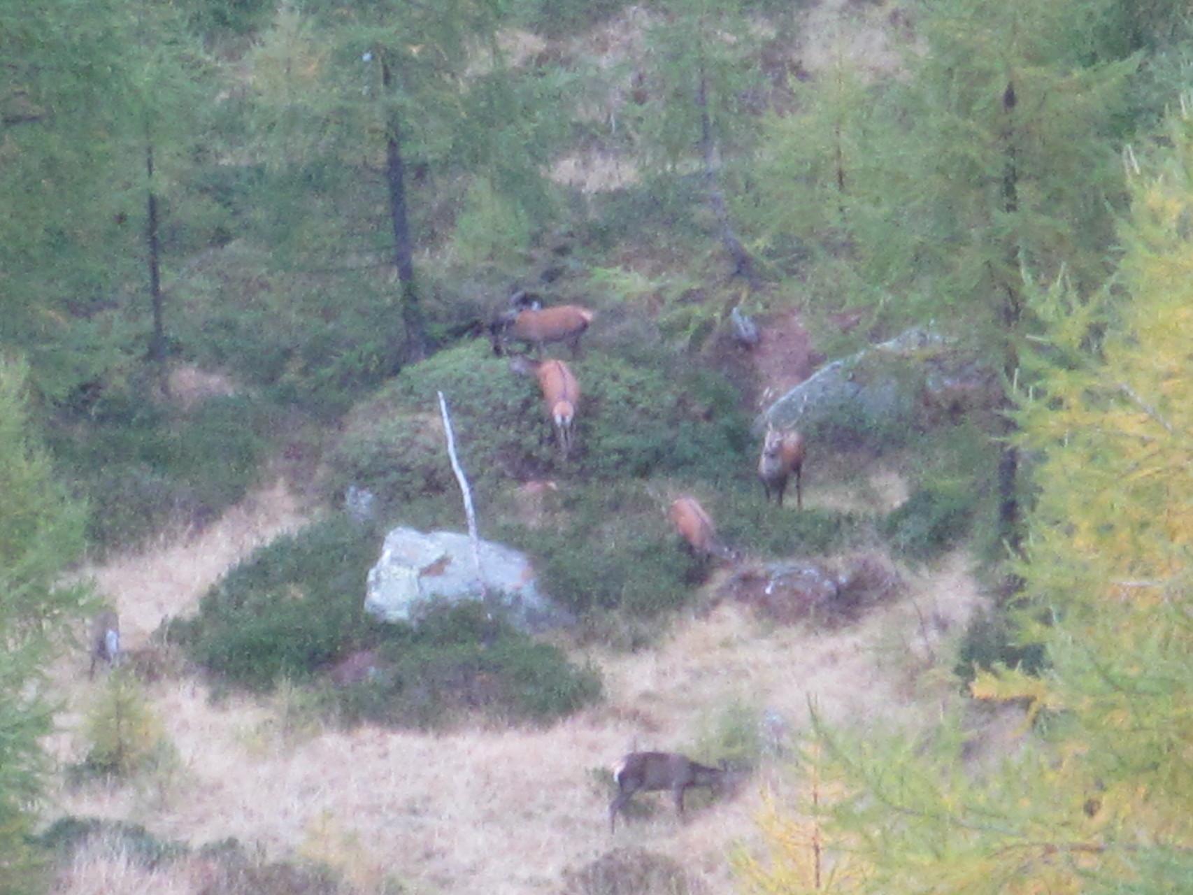 Hirsche in der Brunft