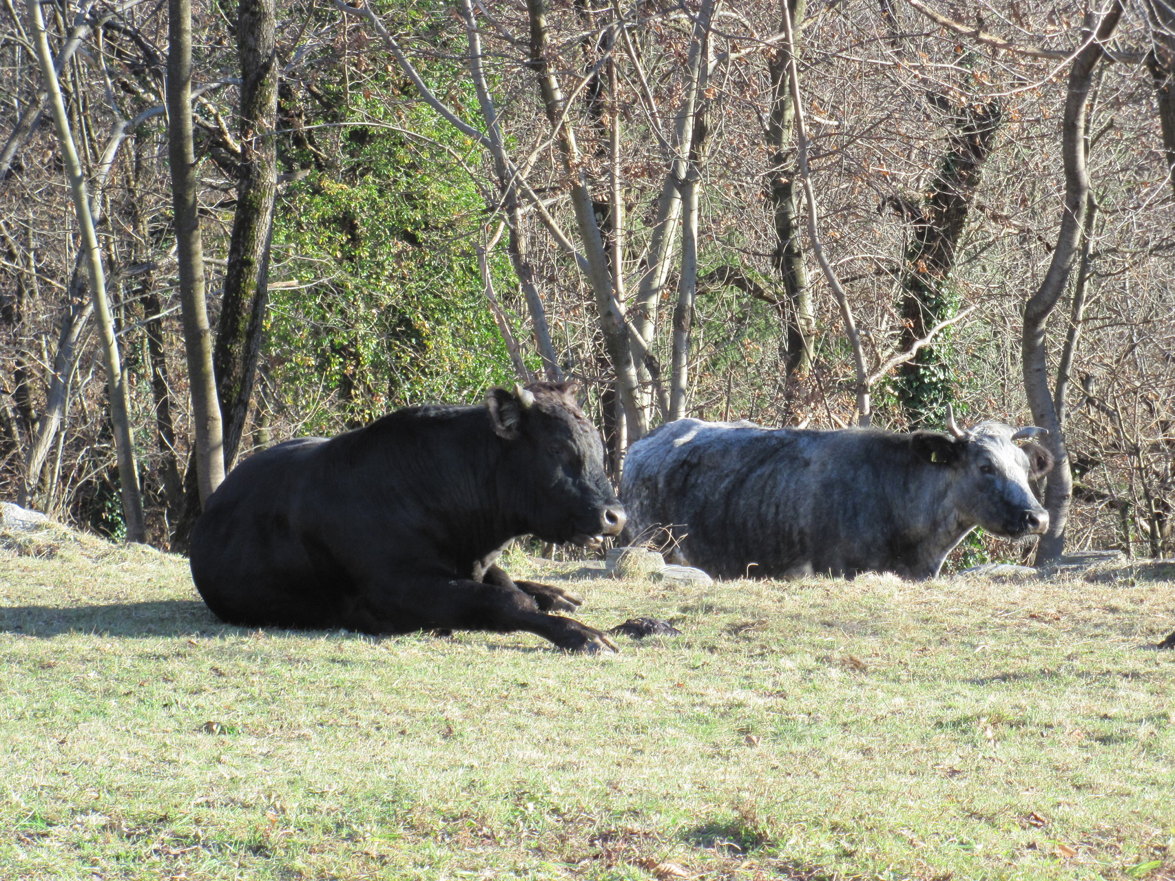 Kühe auf der Weide am 4.1.2015!!!