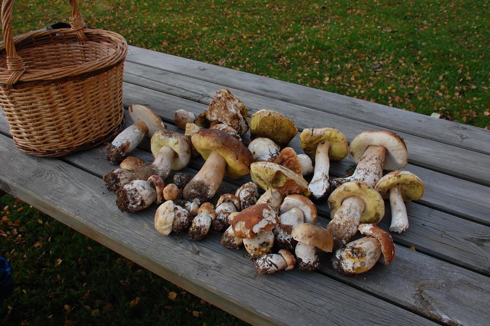 belle cueillette de bolets en automne