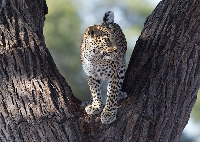 Leopard in a tree, Luipaard in boom