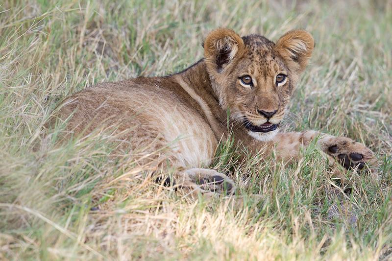 Leeuwenjong, Lion Cub