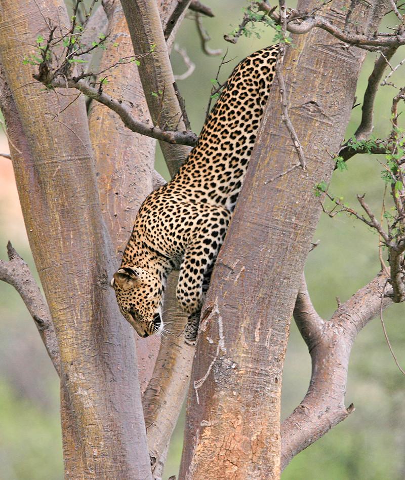 Luipaard, Leopard