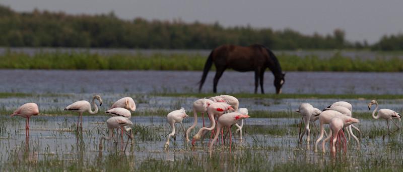 Flamingo's en paarden