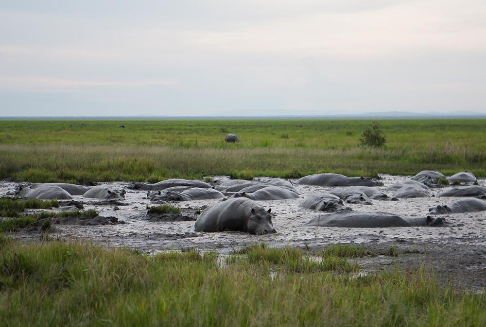 Hippo's, Nijlpaarden