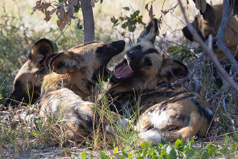 African Wild Dogs, Afrikaanse Wilde Honden