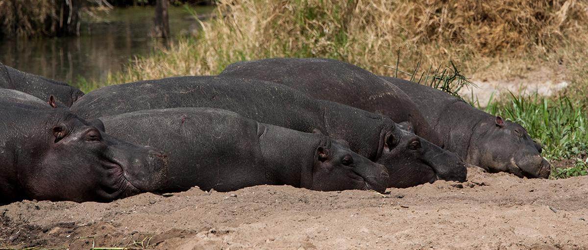 Hippo, Nijlpaarden